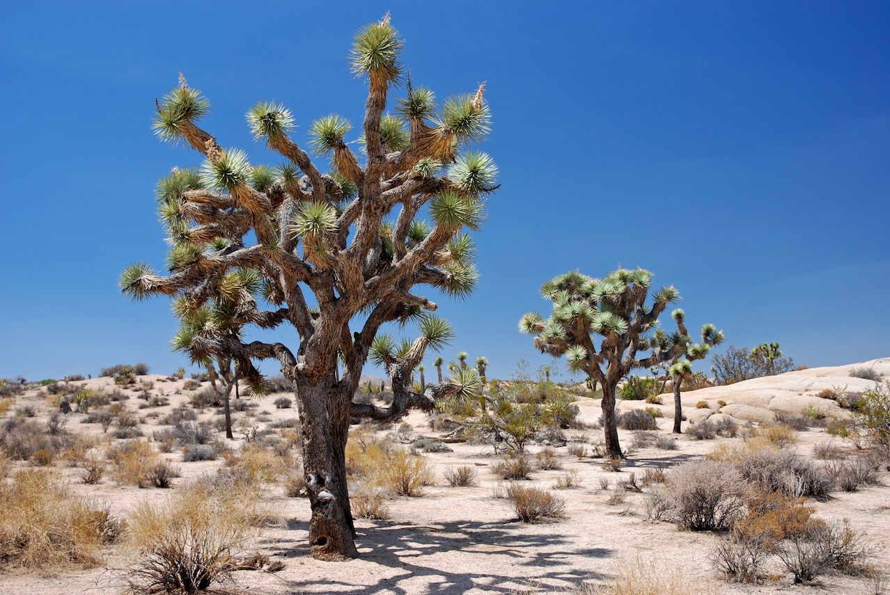Joshua Tree National Park: Joshua Trees