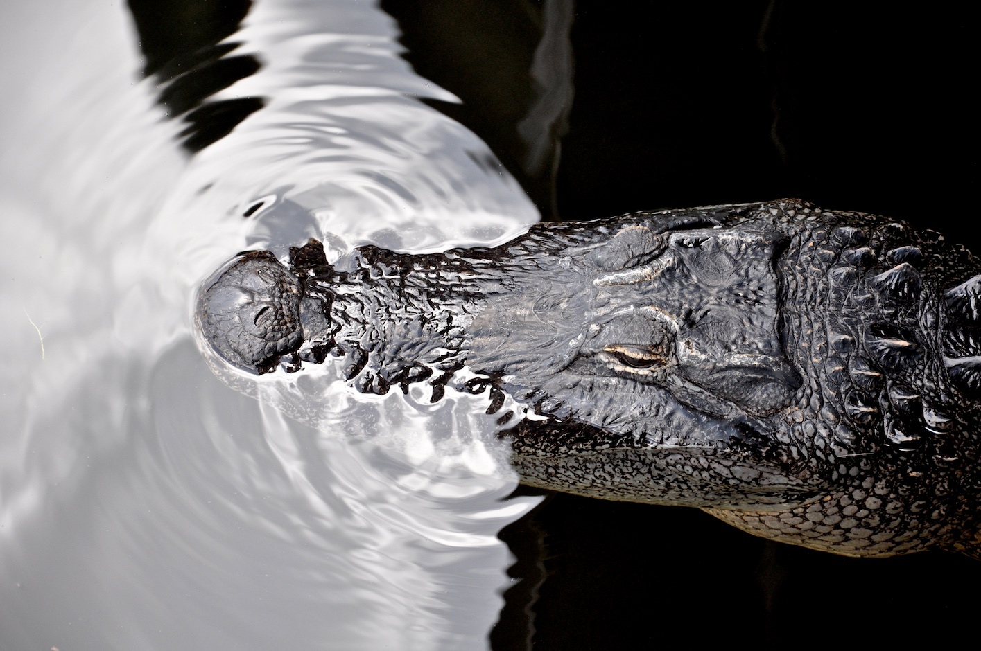 Everglades - Alligator