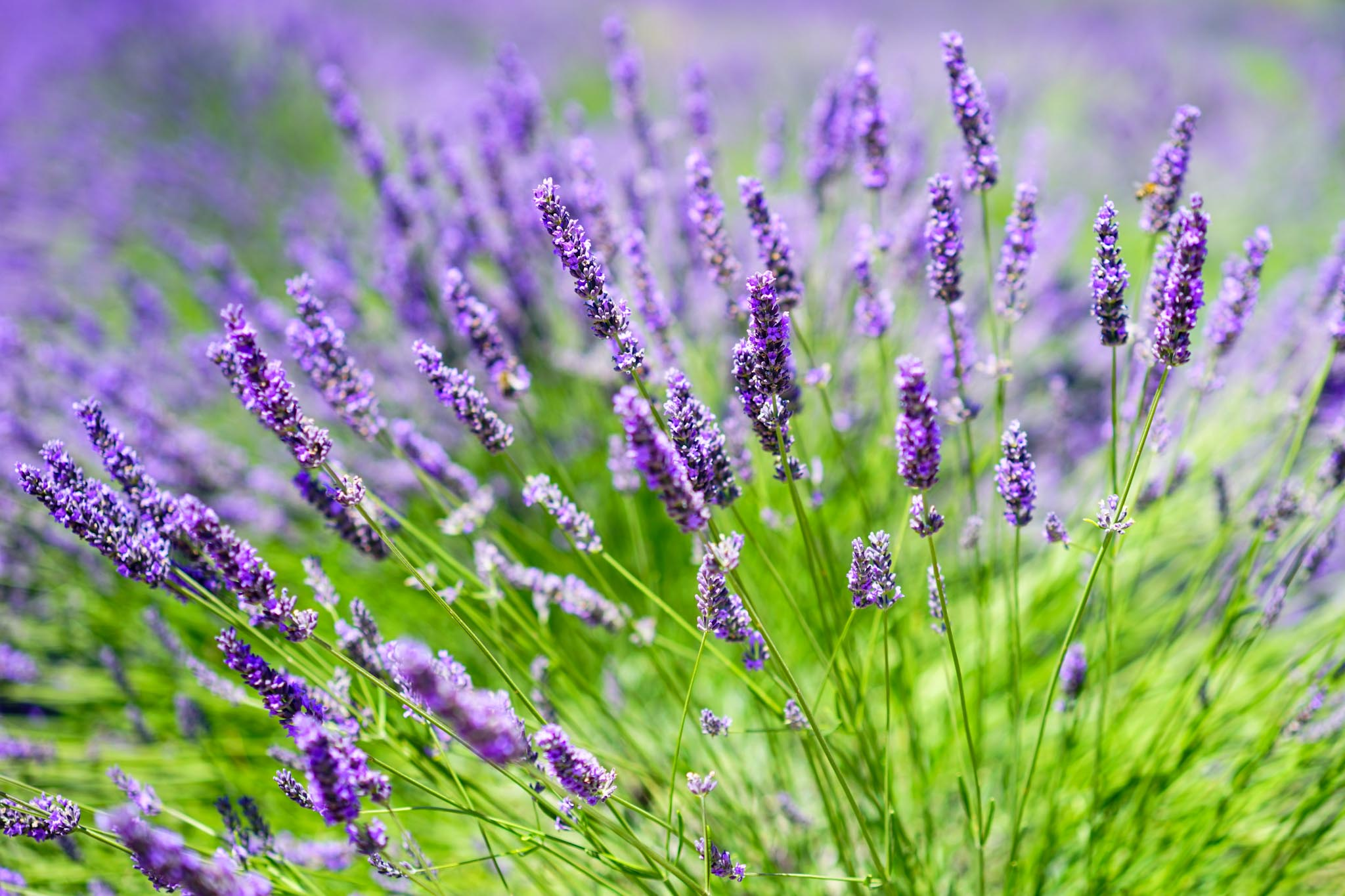 Natürlicher Mückenschutz: Lavendel
