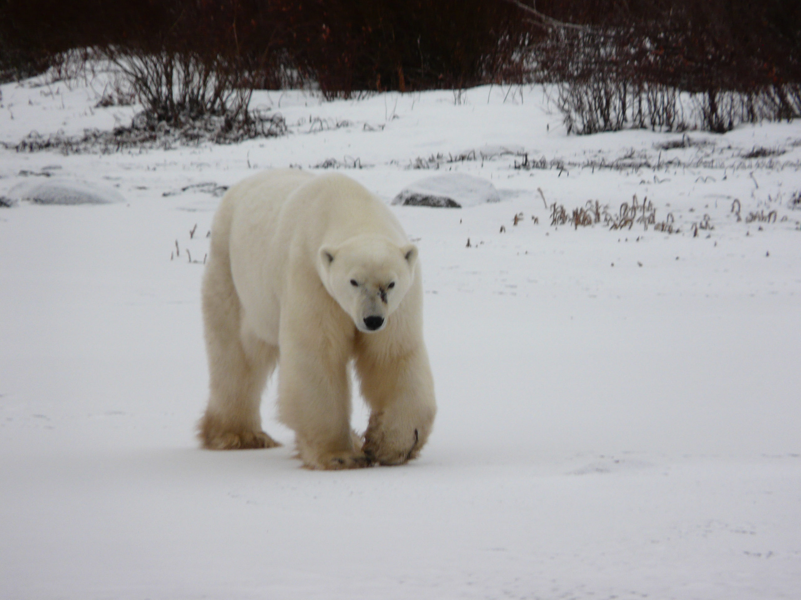 Manitoba - Polar Bear in Churchill