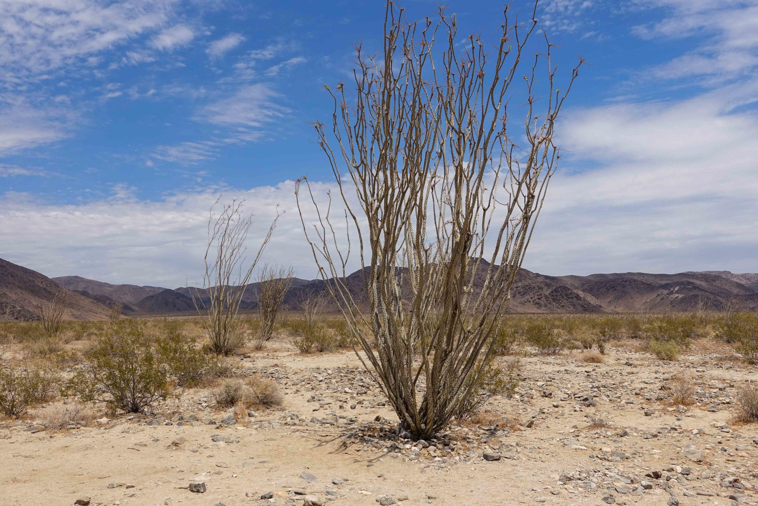 Joshua Tree National Park: Ocotillo Patch